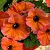 Super Petunia (beautical) Cinnamon (6)