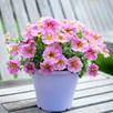 Super Petunia (beautical) Sunray Pink (6)