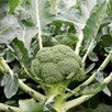 Broccoli  Monclano (6) P9