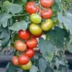 Tomato Grafted Crimson Coll'n (4) P10