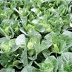 Keep Cropping Cabbage Winterjewel - 6x9cm