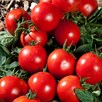 Tomato Grafted Premio (1) P10