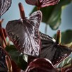 Anthurium Beauty Black
