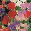 Sweet Pea Seeds - Old Fashioned Mixed Bulk Pack