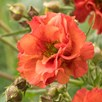 Geum - Red Dragon