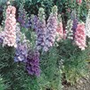 Larkspur Seeds - Hyacinth-Flowered Mixed