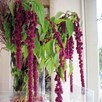 Amaranthus Crimson Fountains Mix