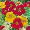 Nasturtium Seeds - Alaska Mixed