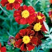 French Marigold - Red Knight