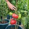 Tomato Crimson Blush F1