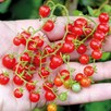 Tomato Red Currant