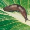 Slug Killer Nematodes 100m² Pack