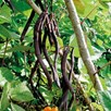 Bean Climbing French Blauhilde