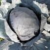 Cabbage Amarant (Langedijker Bewaar 2)