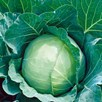 Cabbage Enkhuizen 2