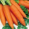 Carrot Rothild