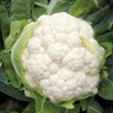 Cauliflower Belot F1