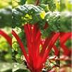 Chard Rhubarb