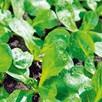 Corn Salad Vit