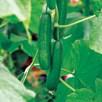 Cucumber Passandra F1