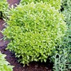 Herb - Basil Greek