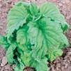 Herb - Basil Lettuce Leaved