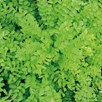 Herb - Burnet
