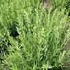 Herb - Hyssop