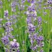 Herb - Lavender (Organic)