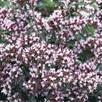Herb - Marjoram Pot