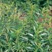 Herb - Savory Summer