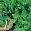 Herb - Sorrel Broad Leaved
