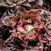 Lettuce Continuity