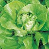 Lettuce Neil