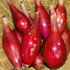 Onion Long Red Florence