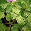 Parsley Italian Giant