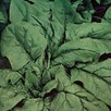 Spinach Gigante D'Inverno