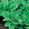 Spinach Matador
