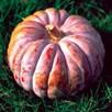 Squash & Pumpkin Futsu