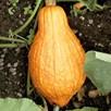 Squash & Pumpkin Golden Hubbard