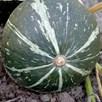 Squash & Pumpkin Green Hokkaido