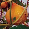 Squash & Pumpkin Potimarron