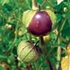 Tomatillo Violet