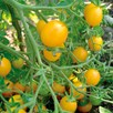 Tomato Clementine