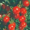 Tomato Lylia Cerisette