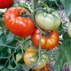 Tomato Red Brandywine