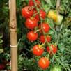 Tomato Sweetie