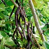 Climbing Beans Saver Pack