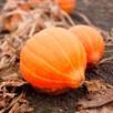Squash Seeds - Amoro F1