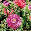 Aster Double Mix